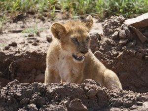 Seronera Westkorridor - Kleingruppenreise Tansania